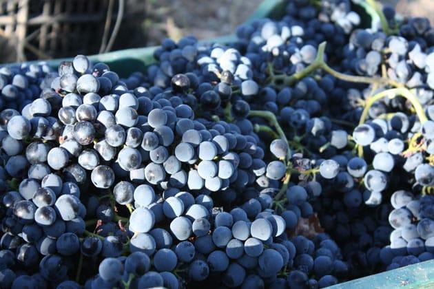 uvas bodegas el anchurón